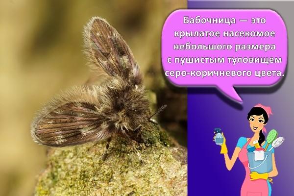 бабочница