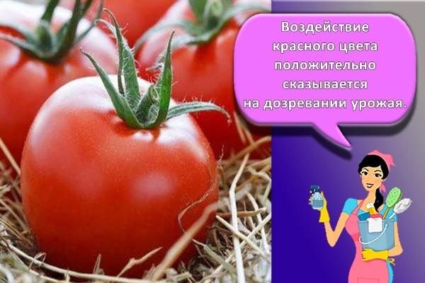 помидоры на сене