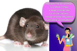 Как быстро избавиться от крыс в гараже, описание средств и народных методов