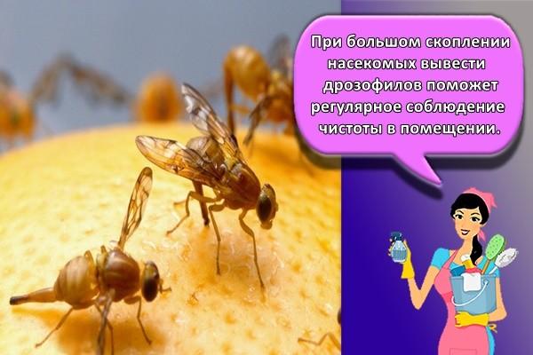 При большом скоплении насекомых вывести дрозофилов поможет регулярное соблюдение чистоты в помещении