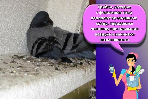 Грибки, которые с фекалиями птиц попадают во внешнюю среду, передаются человеку при вдыхании воздуха и начинают размножаться