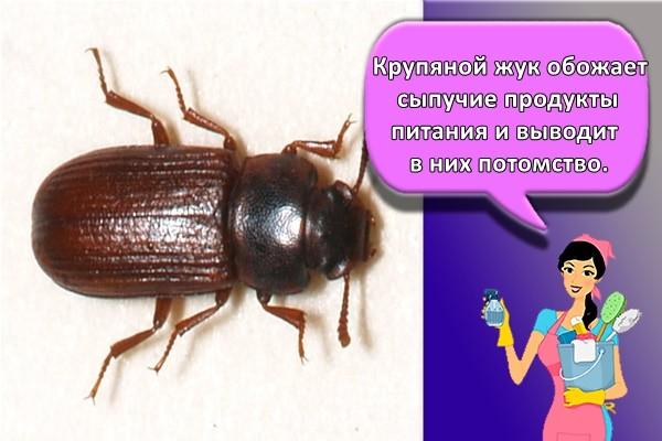 Крупяной жук обожает сыпучие продукты питания и выводит в них потомство.