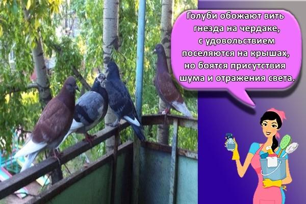 Голуби обожают вить гнезда на чердаке, с удовольствием поселяются на крышах, но боятся присутствия шума и отражения света.