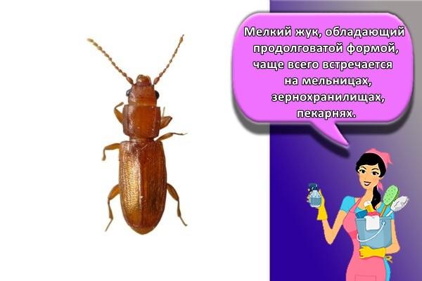 Мелкий жук, обладающий продолговатой формой, чаще всего встречается на мельницах, зернохранилищах, пекарнях.
