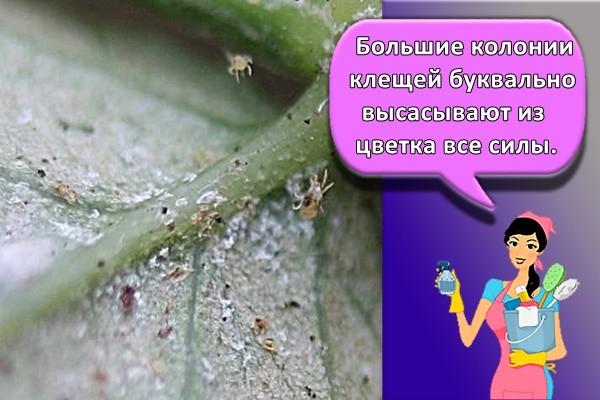 Большие колонии клещей буквально высасывают из цветка все силы.