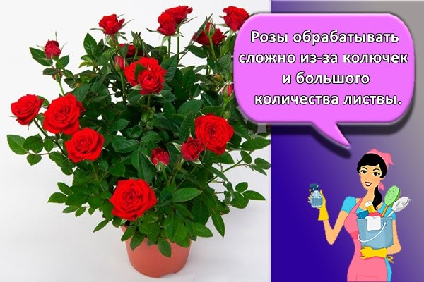 Розы обрабатывать сложно из-за колючек и большого количества листвы.