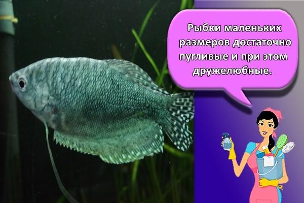 Рыбки маленьких размеров достаточно пугливые и при этом дружелюбные.
