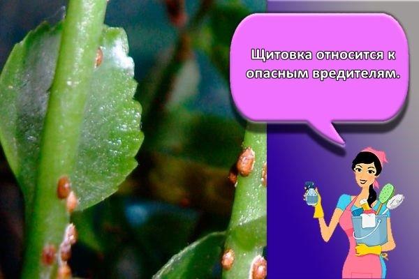 щитовка листья