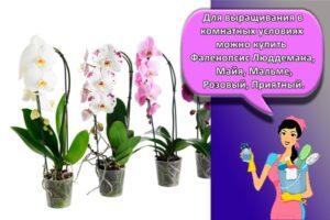 Пошаговое руководство по уходу за орхидеями Фаленопсис в домашних условиях