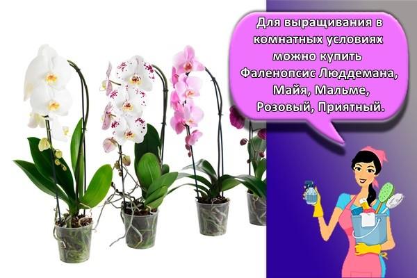 Для выращивания в комнатных условиях можно купить Фаленопсис Люддемана, Майя, Мальме, Розовый, Приятный.