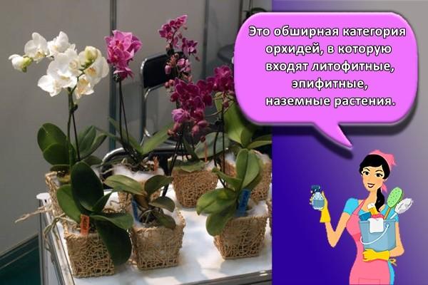 Это обширная категория орхидей, в которую входят литофитные, эпифитные, наземные растения
