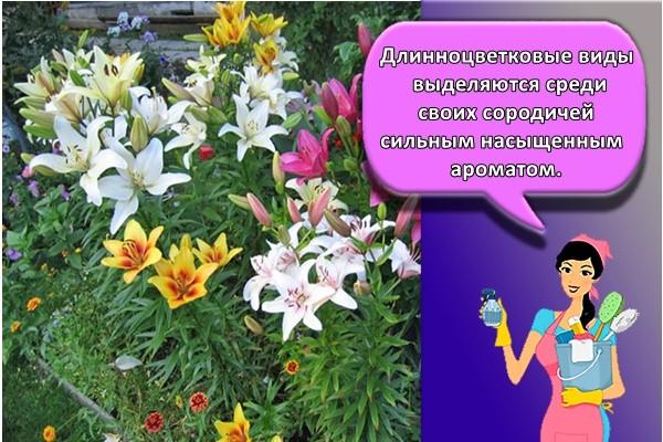 . Длинноцветковые виды выделяются среди своих сородичей сильным насыщенным ароматом.