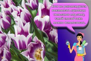 Как выращивать тюльпаны и когда сажать осенью в открытый грунт