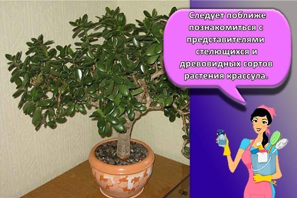 Следует поближе познакомиться с представителями стелющихся и древовидных сортов растения крассула.
