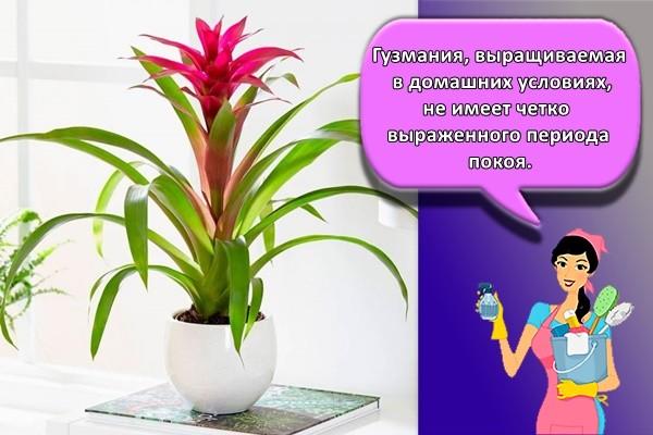 Гузмания, выращиваемая в домашних условиях, не имеет четко выраженного периода покоя.