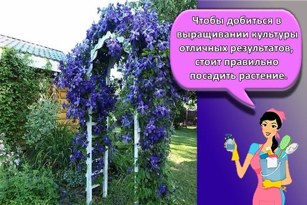 Чтобы добиться в выращивании культуры отличных результатов, стоит правильно посадить растение.