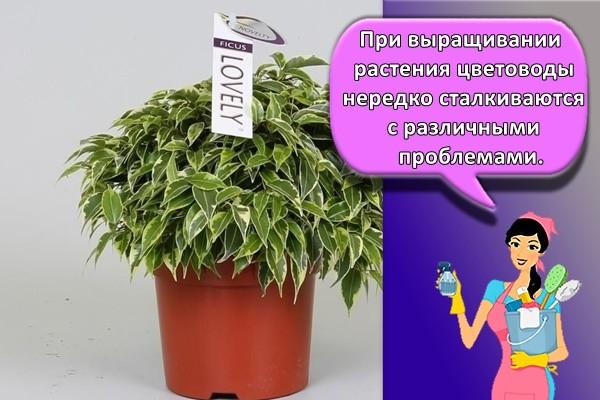 При выращивании растения цветоводы нередко сталкиваются с различными проблемами.