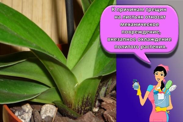 К причинам трещин на листьях относят механическое повреждение, внезапное охлаждение политого растения