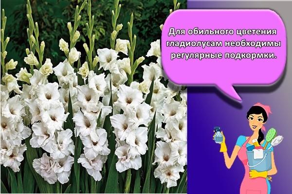 Для обильного цветения гладиолусам необходимы регулярные подкормки.