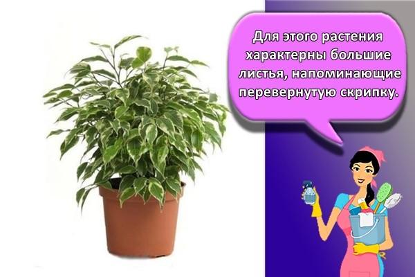 Для этого растения характерны большие листья, напоминающие перевернутую скрипку.