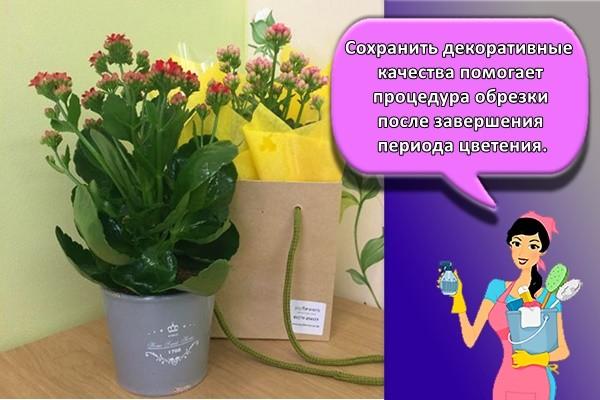 Сохранить декоративные качества помогает процедура обрезки после завершения периода цветения.