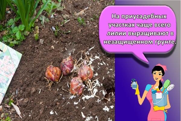 На приусадебных участках чаще всего лилии выращивают в незащищенном грунте.