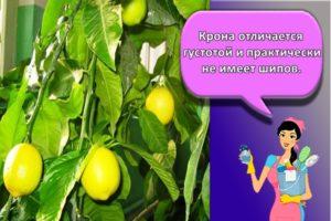 Как можно в домашних условиях вырастить лимон из косточки и правила ухода