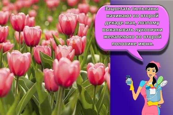 Зацветать тюльпаны начинают во второй декаде мая, поэтому выкапывать луковички желательно во второй половине июня
