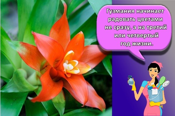 Гузмания начинает радовать цветами не сразу, а на третий или четвертый год жизни.