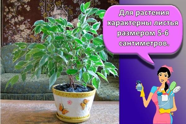 Для растения характерны листья размером 5-6 сантиметров.