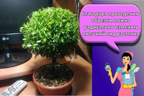 Благодаря проведению обрезки можно радикально изменить внешний вид растения.
