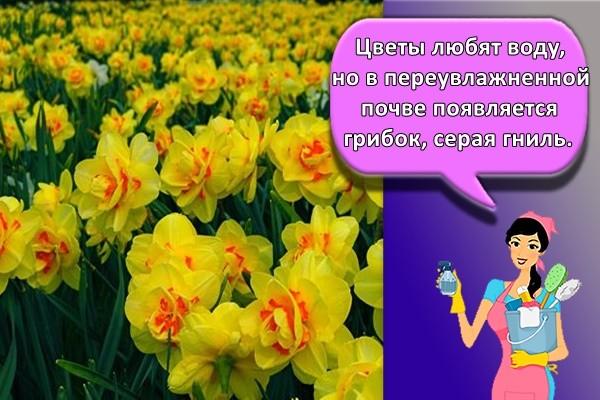 Цветы любят воду, но в переувлажненной почве появляется грибок, серая гниль.