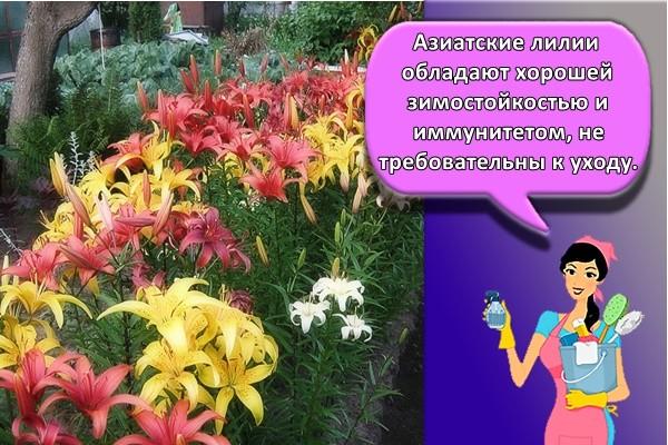 зиатские лилии обладают хорошей зимостойкостью и иммунитетом, не требовательны к уходу.