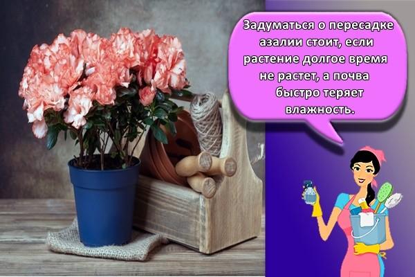 Задуматься о пересадке азалии стоит, если растение долгое время не растет, а почва быстро теряет влажность.