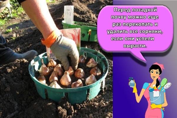 Перед посадкой почву можно еще раз перекопать и удалить все сорняки, если они успели вырасти.