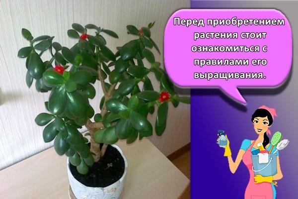 Перед приобретением растения стоит ознакомиться с правилами его выращивания.