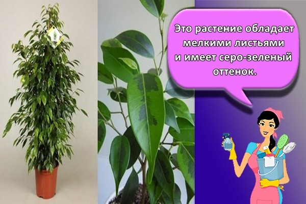 Это растение обладает мелкими листьями и имеет серо-зеленый оттенок.