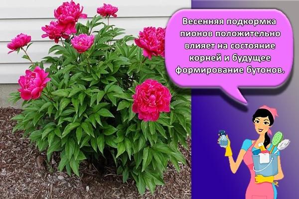 Весенняя подкормка пионов положительно влияет на состояние корней и будущее формирование бутонов.