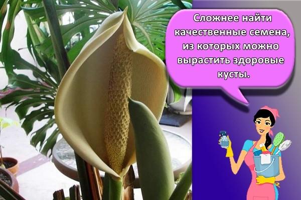 Сложнее найти качественные семена, из которых можно вырастить здоровые кусты.