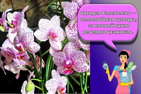 Орхидея Фаленопсис — теплолюбивая культура, за которой нужно регулярно ухаживать.