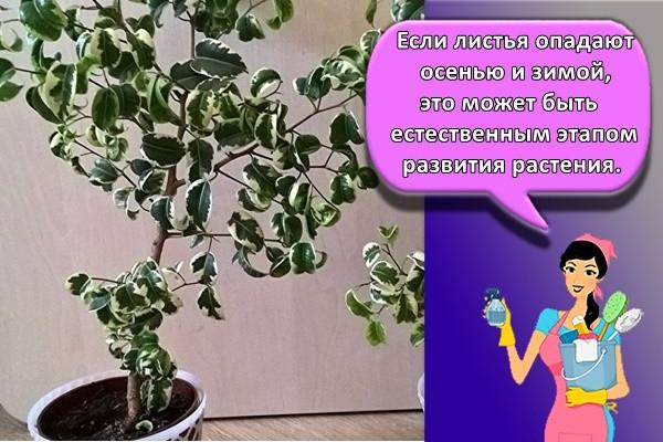 Если листья опадают осенью и зимой, это может быть естественным этапом развития растения.