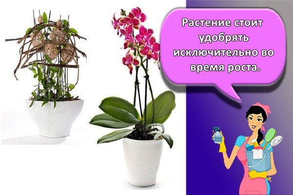 Растение стоит удобрять исключительно во время роста.