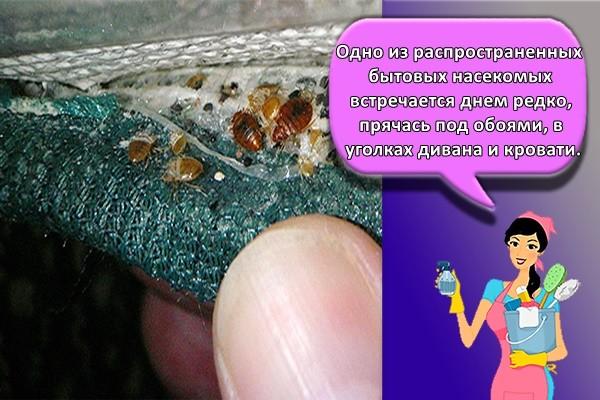 Одно из распространенных бытовых насекомых встречается днем редко, прячась под обоями, в уголках дивана и кровати.