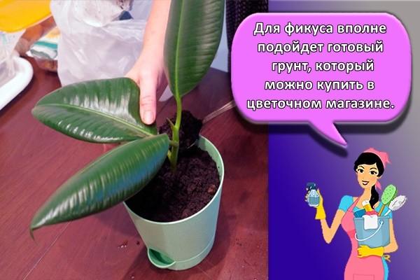 Для фикуса вполне подойдет готовый грунт, который можно купить в цветочном магазине.