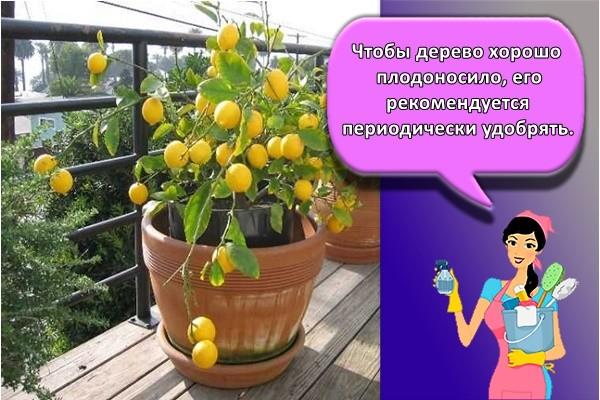 Чтобы дерево хорошо плодоносило, его рекомендуется периодически удобрять.