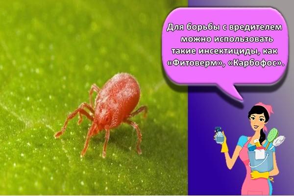Для борьбы с вредителем можно использовать такие инсектициды, как «Фитоверм», «Карбофос»
