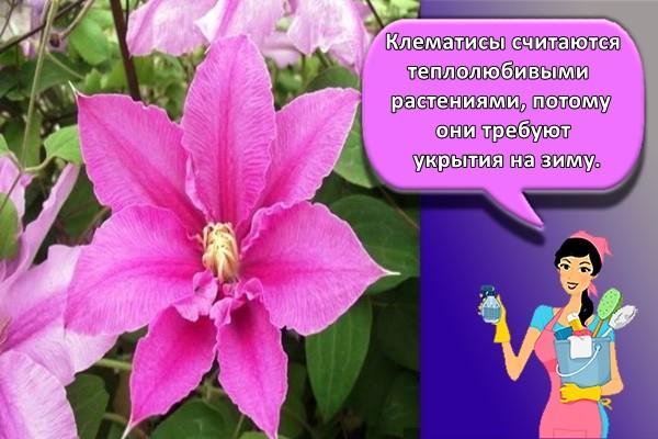Клематисы считаются теплолюбивыми растениями, потому они требуют укрытия на зиму.
