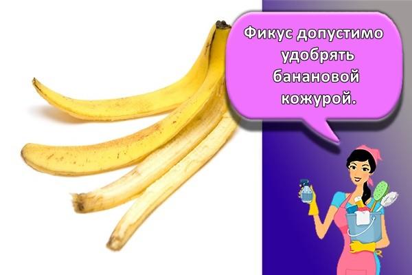 Фикус допустимо удобрять банановой кожурой.