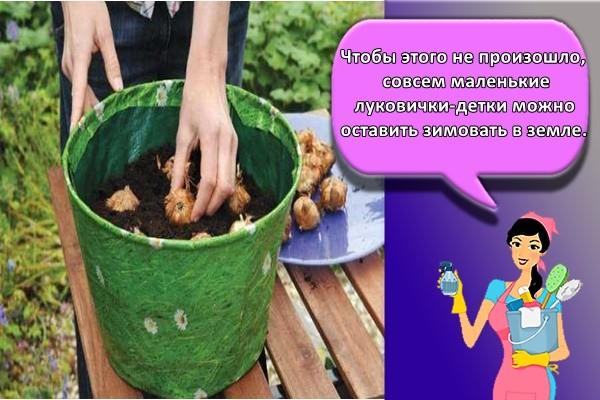 Чтобы этого не произошло, совсем маленькие луковички-детки можно оставить зимовать в земле.