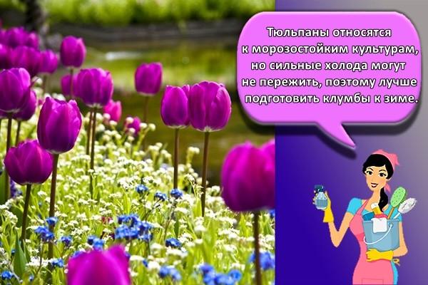Тюльпаны относятся к морозостойким культурам, но сильные холода могут не пережить, поэтому лучше подготовить клумбы к зиме.